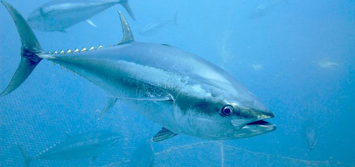 Bagaimana Menangani Perlawanan Ikan yang Masuk Ke Kolong Kapal Sewaktu Strike?
