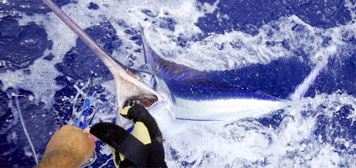 Faktor Apa Saja Yang Harus Diperhatikan Sewaktu Merilis Ikan?