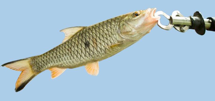 Bagaimana Cara Memancing Ikan Hampala?