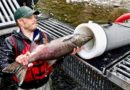 Relokasi Ikan Lebih Mudah Dengan Teknologi 'Meriam Ikan'